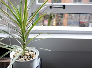 dracaena-marginata-plante-interieur